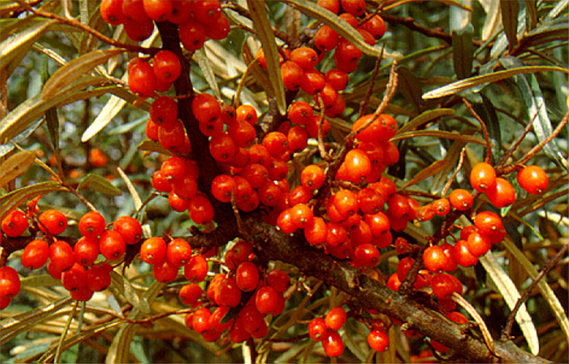英國天然沙棘植物油| UK natural seabuckthorn plant oil